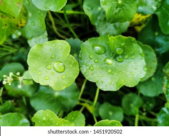 Centella asiatica, Medicinal plants that have medicinal properties