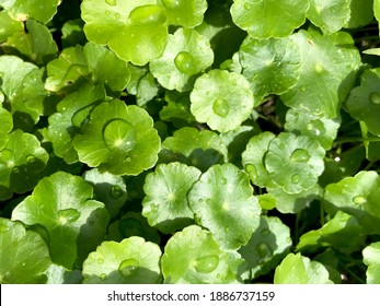 Centella asiatica, Medicinal plants that have medicinal properties