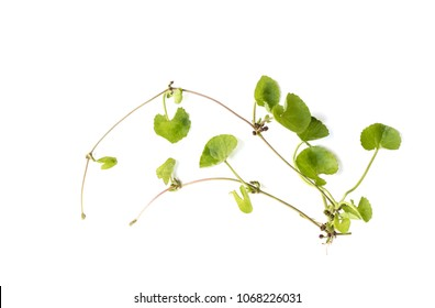 Centella asiatica on a white background.