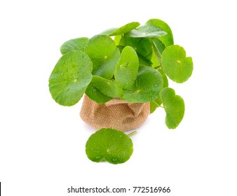 Centella asiatica and water on a white background.