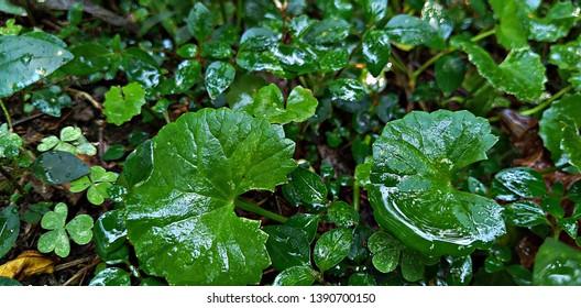 centella leaves bokeh macro closeup shot
