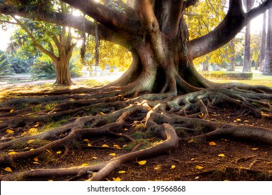 Centenarian tree with large trunk and big roots above the ground