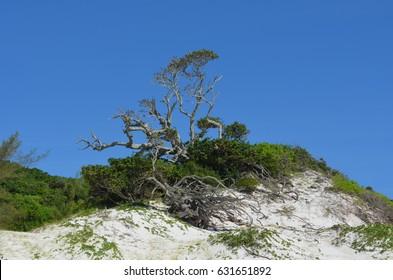 Centenary fig tree on the lighthouse beach in Arraial do Cabo, Brazil