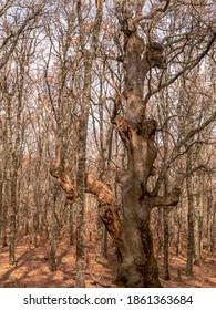CENTENARY OAK IN OAK FOREST IN AUTUMN WITH, IN SIERRA DE SAN VICENTE, TOLEDO, SPAIN