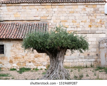 centenary olive tree with roots in the air in front of the church