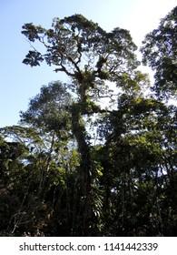 centenary tree florest Brazil