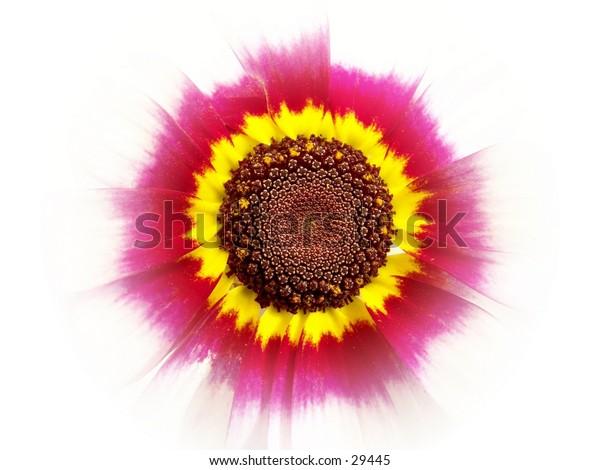 Center of Chrysanthemum flower.