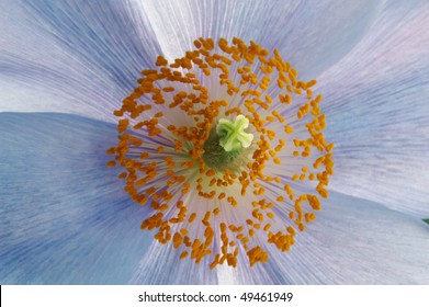 Center of a Himalayan Blue Poppy Macro