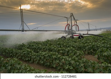 Center pivoting irrigation system over a ripe cotton field.