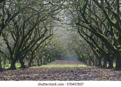 A Center Point of View of a Grove of Mature, Moss Covered, Hazel Nut Trees with Leaves and Grass on the Ground Late Winter, Soft Focus, Hazy Atmosphere, Daytime - Willamette Valley, Oregon (HDR Image)