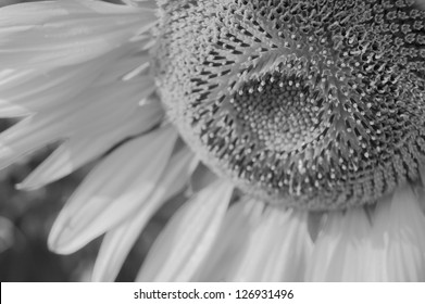 center of sunflower (Black and white)