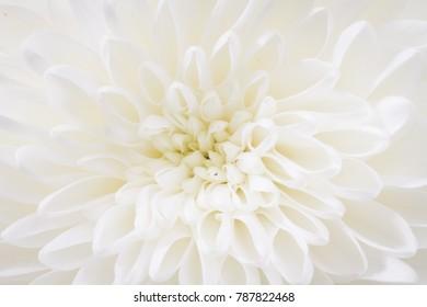 centered closeup of white Chrysant flower
