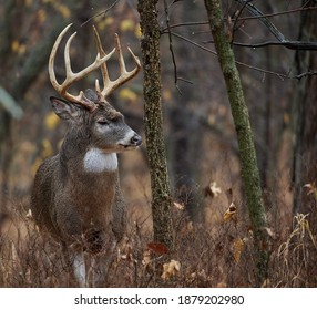 Centerville, Iowa.  United States.  November, 2020.  A big midwest whitetail buck during the rut, in the timber.