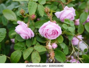 Centifolia Muscosa Rose portrait