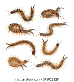 centipede on white background