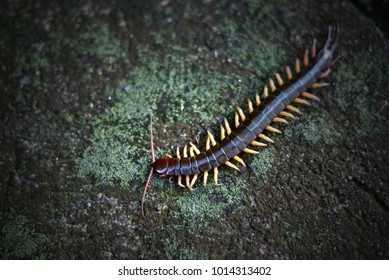 Centipede (Scolopendra sp.) creeping on a slab of rock with a green Moss