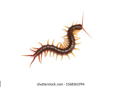 centipede (Scolopendra sp.) Giant centipede isolated on white background. The top view of a living centipede, high resolution images shot in a studio room.