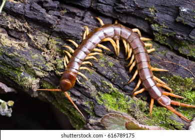 centipede (Scolopendra sp.) sleeping on a mossy tree in tropical rainforest