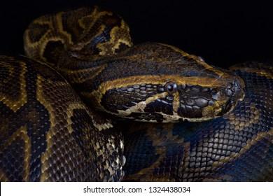 Central African rock python (Python sebae)