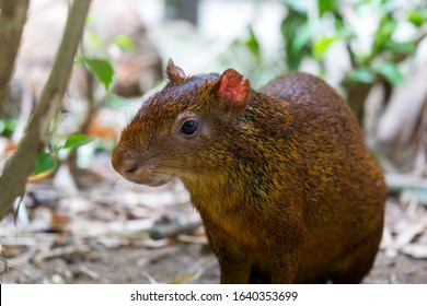 Central American Agouti Closeup Portrait