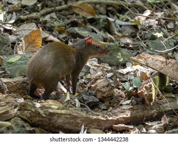 Central American agouti, Dasyprocta punctata, looking for food, Honduras