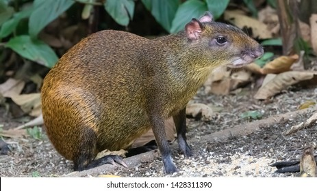 Central american agouti Dasyprocta punctata, adult foraging for food, Costa Rica, January 2019