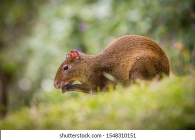 Central American agouti, Dasyprocta punctata is sitting and eating in the grass green background, low angle view, rain forest typical environment of Costa Rica