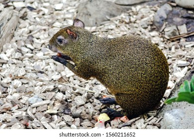 central american agouti, dasyprocta punctata, is sitting and eating on the ground