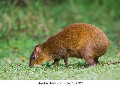 Central American Agouti, Dasyprocta punctata, adult eating, Bosque de Paz, Central Valley, Costa Rica, Central America, December