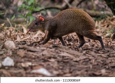 A Central American agouti forages for food
