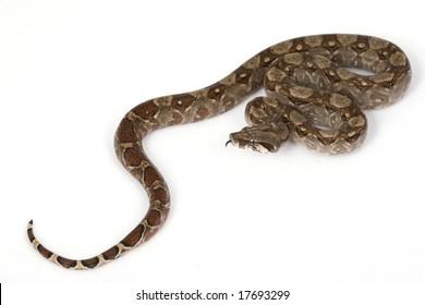 Central American Boa (Boa constrictor imperator) on white background.