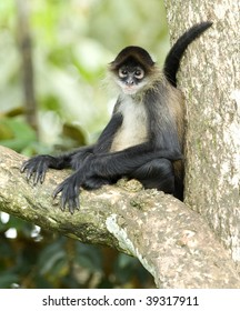 central american geoffroys spider monkey or mono arana adult sitting in tree, drake bay, costa rica, latin america. exotic primate in lush tropical jungle