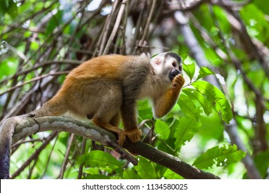 Central American squirrel monkey in Manuel Antonio national park, Costa Rica.