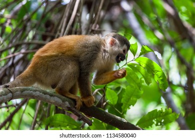 A Central American squirrel monkey in Manuel Antonio national park, Costa Rica.