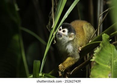 Central American squirrel monkey (Saimiri oerstedii) in Corcovado National Park, Osa Peninsula, Costa Rica