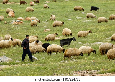CENTRAL ANATOLIA, TURKEY — MAY 2, 2011. A shepherd tends his flock of sheep and goats, grazing on a rocky hillside with spring wildflowers.