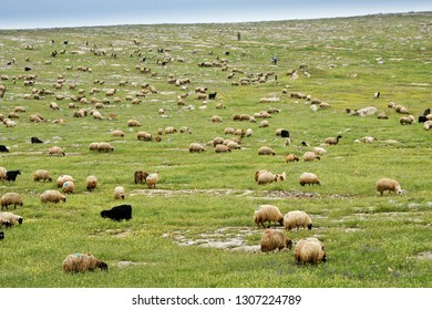 CENTRAL ANATOLIA, TURKEY — MAY 2, 2011. A shepherd tends his flock of goats and sheep (marked with paint to denote ownership) grazing on a rocky hillside with spring wildflowers.