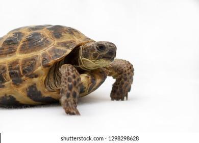 Central Asian land tortoise on white background
