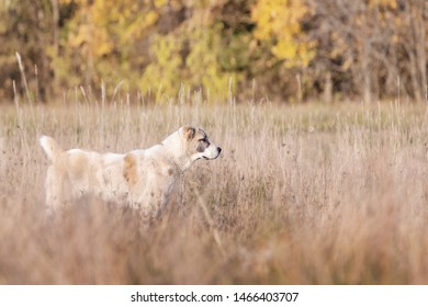 Central Asian Shepherd dog in autumn landscape background