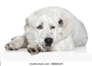 Central Asian Shepherd Dog closeup portrait on a white background