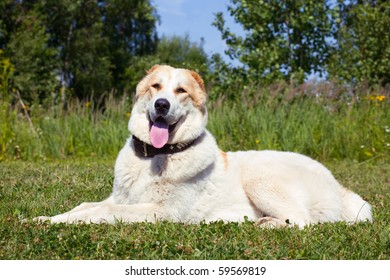 Central Asian Shepherd Dog Laying on the grass