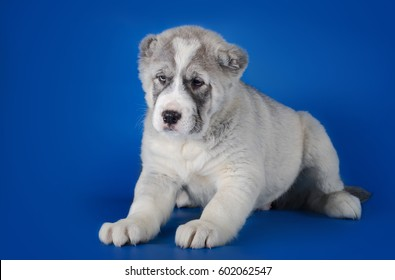Central Asian Shepherd Dog on a blue background