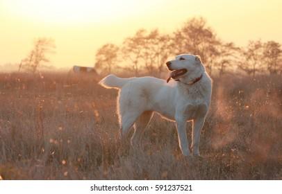 Central Asian Shepherd Dog in the sunset