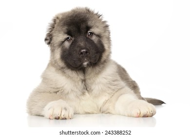 Central Asian Shepherd puppy lying on white background