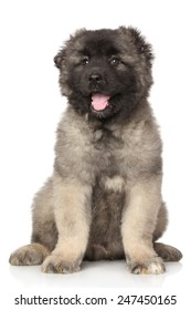Central Asian Shepherd puppy sits on white background