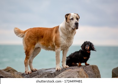 Central Asian shepherd-Alabai (Turkmen wolfhound) and long-haired Dachshund