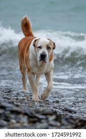 Central Asian shepherd-Alabai (Turkmen wolfhound)