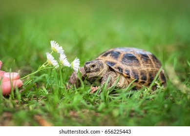 The central asian tortoise with a flower