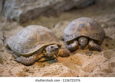 Central asian tortoise (Testudo (Agrionemys) horsfieldii)