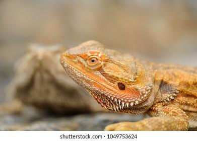 Central bearded dragon detail. Oragne dragon on stone